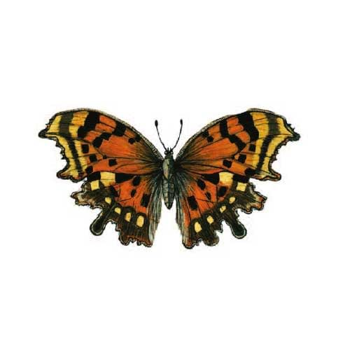 Comma Butterfly Illustration for product design