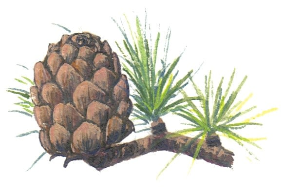 European Larch Cone Illustration for product design