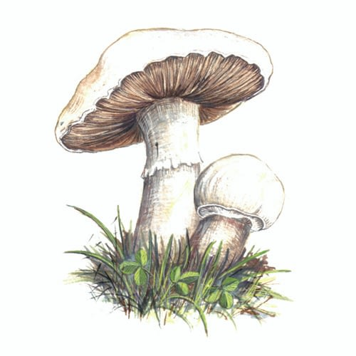 Field mushroom Illustration