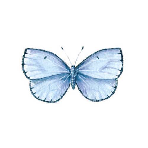 common-blue Butterfly Illustration for product design