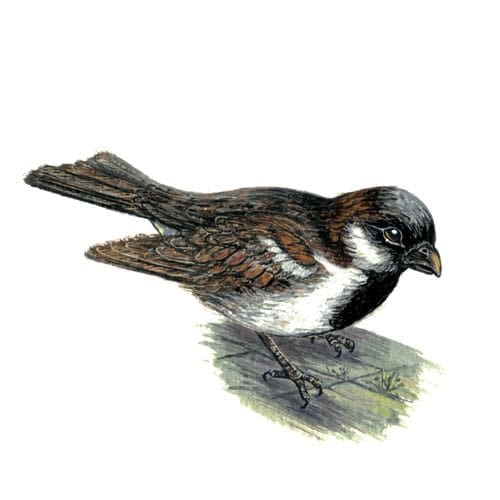 Sparrow illustration for product design
