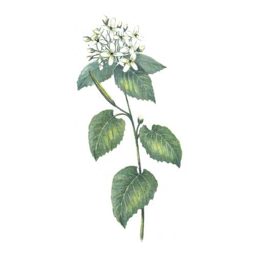 Garlic Mustard Plant illustration for product design