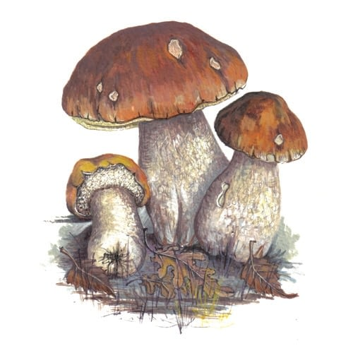 Cep fungi illustration for product design
